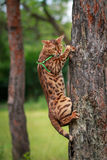 A single bengal cat in natural surroundings Royalty Free Stock Images
