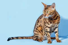 Single bengal cat Stock Photo