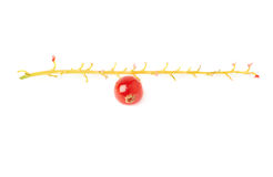 Single berry of Red Currant on branch isolated over white background Stock Image