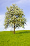 Single big apple tree Royalty Free Stock Photos