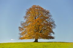 Single big beech tree Stock Photos