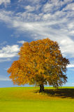 Single big beech tree Royalty Free Stock Photography