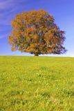 Single big beech tree at autumn Stock Photo