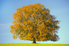 Single big beech tree at autumn Stock Images