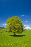 Single big beech tree Stock Photo