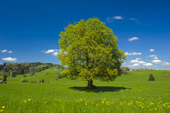 Single big beech tree Royalty Free Stock Images