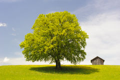Single big beech tree Royalty Free Stock Photo