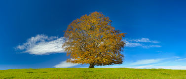 Single big beech tree Royalty Free Stock Photos