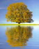 Single big beech tree Royalty Free Stock Image