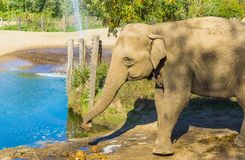 Single big brown grey elephant standing next to a water puddle. A single big brown grey elephant standing next to a water puddle royalty free stock photo