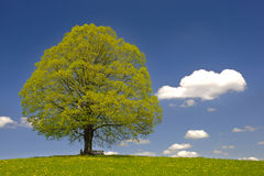 Single big linden tree Royalty Free Stock Photo