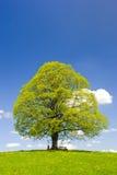 Single big linden tree at spring Royalty Free Stock Photos