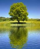 Single big old beech tree Royalty Free Stock Image