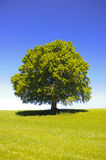 Single big old beech tree Stock Images