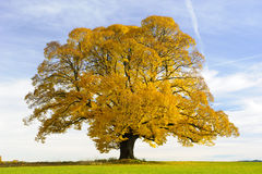 Single big old linden tree Royalty Free Stock Photo