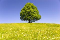 Single big old linden tree Royalty Free Stock Photos