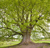 Single big old linden tree Royalty Free Stock Photography