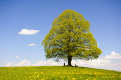 Single big old linden tree Royalty Free Stock Photos