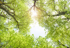 Single big old linden tree with sunbeams Royalty Free Stock Photo