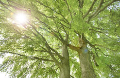 Single big old linden tree with sunbeams Stock Image