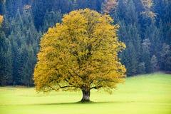 Single big old maple tree Stock Photography
