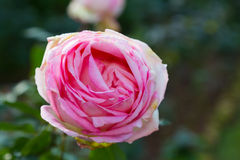 Single big pink rose isolated on garden background Royalty Free Stock Photo