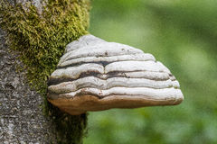 Single big polypore Royalty Free Stock Image