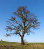 Single big tree in meadow in autumn Stock Photography