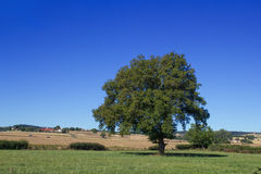 Single big tree in summer meadows. And blue sky Stock Photography