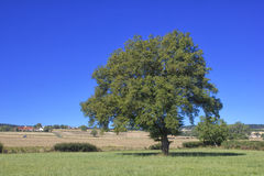 Single big tree in summer meadows. And blue sky stock photos