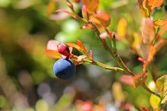 Single Bilberry or Vaccinium myrtillus Stock Images