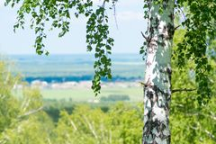 Single birch closeup over small ecological settlement blurred ba. Ckground Stock Photography