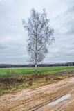 A single birch tree. Stock Images