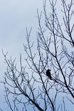 Single bird. Silhouette of a solitary crow in leafless tree Stock Photo