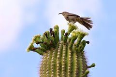 Single bird on Cactus Stock Photography