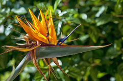 Single bird of paradise flower, Strelitzia. Stock Image