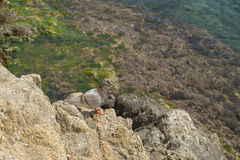 Single bird on rock by the sea Royalty Free Stock Images