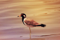 A single Bird standing in the surface of the lake Al-Kudra,Dubai on 28 June 2017 Royalty Free Stock Photos