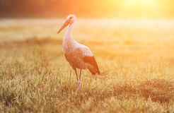 Single bird white stork at the field in sunlight Stock Images