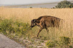 A single bison calf in grasslands Royalty Free Stock Photos