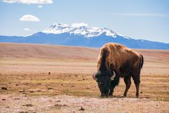 Single Bison eating grass on the field, with snowy mountain as b. Ackground at Manitou Springs, Colorado royalty free stock photos