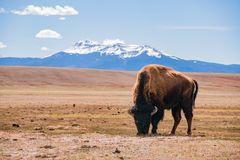 Single Bison eating grass on the field, with snowy mountain as b. Ackground at Manitou Springs, Colorado royalty free stock photo