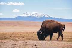 Single Bison eating grass on the field, with snowy mountain as b. Ackground at Manitou Springs, Colorado royalty free stock photography