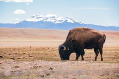 Single Bison eating grass on the field, with snowy mountain as b. Ackground at Manitou Springs, Colorado royalty free stock images