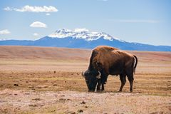 Single Bison eating grass on the field, with snowy mountain as b. Ackground at Manitou Springs, Colorado stock photos