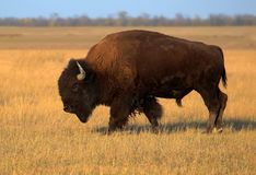 Single Bison on the pasture royalty free stock photography
