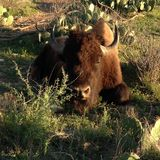 Single Bison. This was taken at San Angelo State Park in Texas Stock Photography