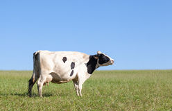 Free Single Black And White Holstein Dairy Cow With A Full Udder Stock Images - 71978884