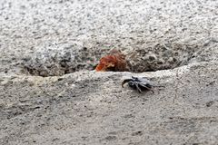 Single black crab on a cement block. This photo is taken on Madeira, Portugal royalty free stock images