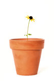 Single Black-Eyed Susan in Old Terra Cotta Flower Pot Royalty Free Stock Photography